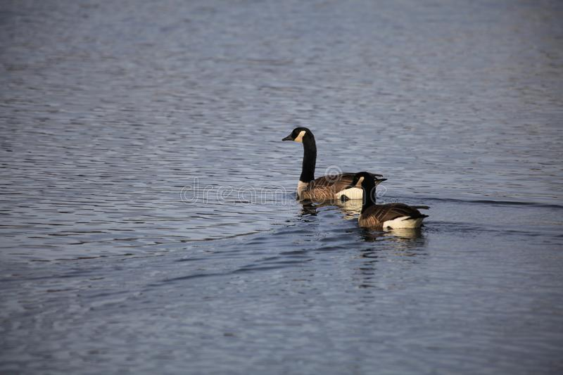 Two ducks are swimming over a lake royalty free stock photography