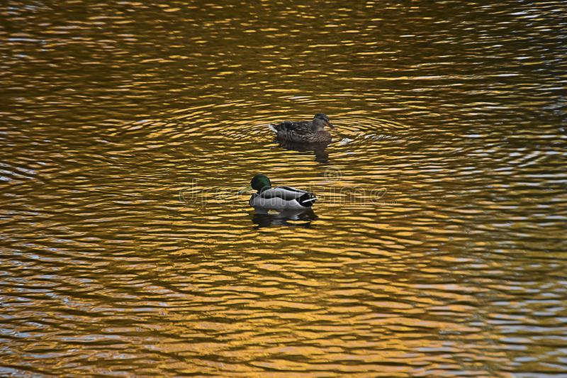 Two ducks swimming in the river. royalty free stock photos