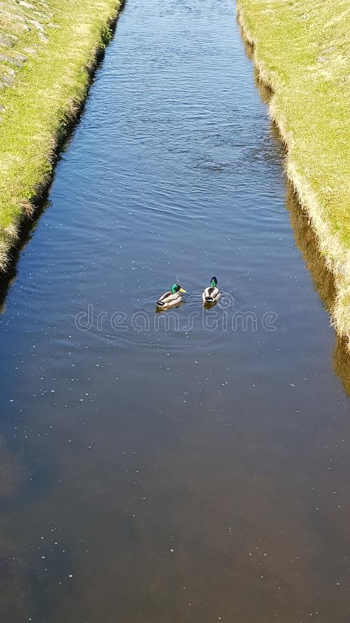 Two ducks swimming royalty free stock photo