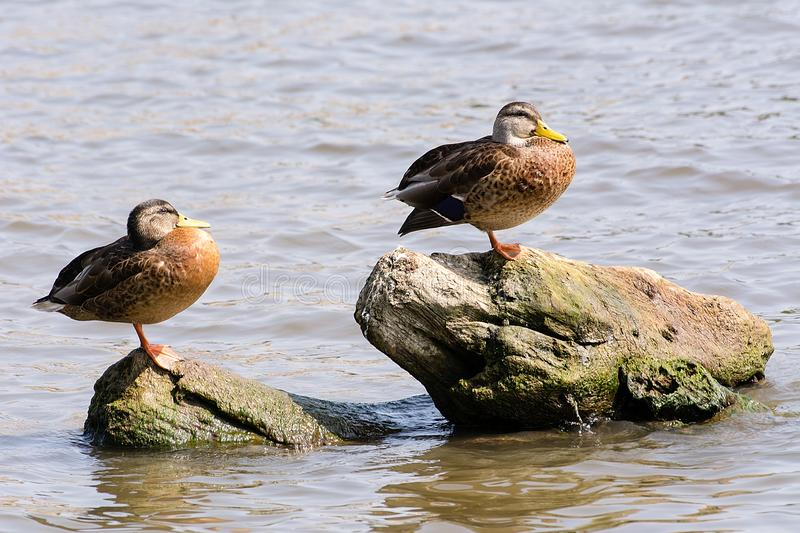 Two ducks on the trunk royalty free stock photos