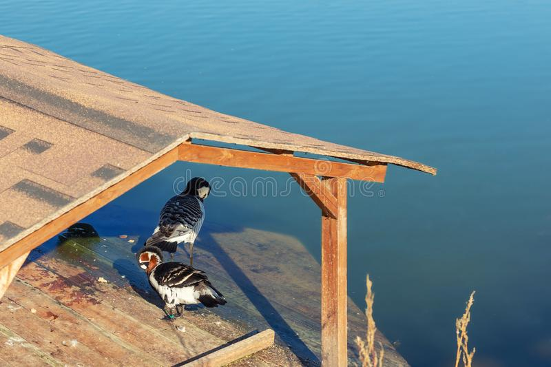 Two ducks under roof of wooden rural duck's house on lake or pond. Water, outdoor, park, green, nature, landscape, beautiful, bird, background, tree royalty free stock photo