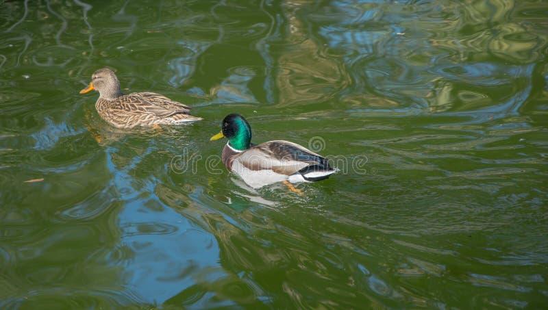 Two ducks walking through the water stock image