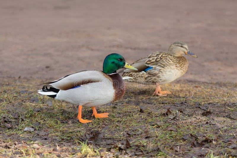 Two ducks on wet ground. In spring stock photo