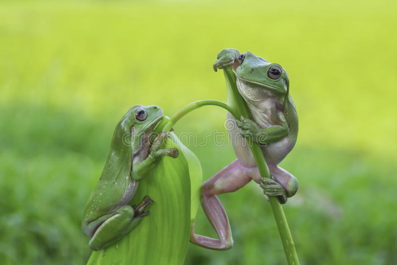 frog, amphibians, animal, animales, animals, animalwildlife, crocodile, dumpy, dumpyfrog, face, frog, green, macro, mammals, royalty free stock photo