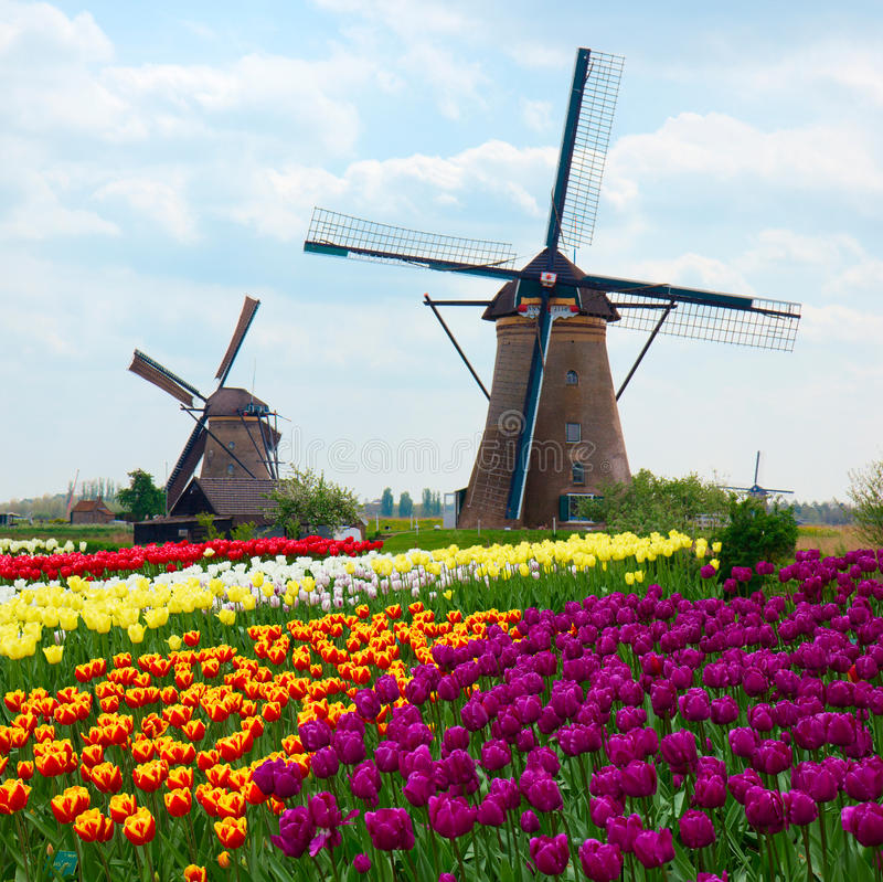 Two dutch windmills over tulips field stock images