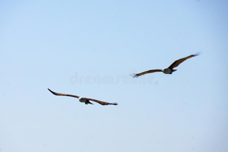 Two Eagle flying in the sky stock image