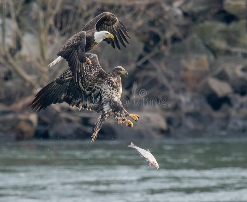 Two Eagles and a fish in a hard place. The fish has no chance