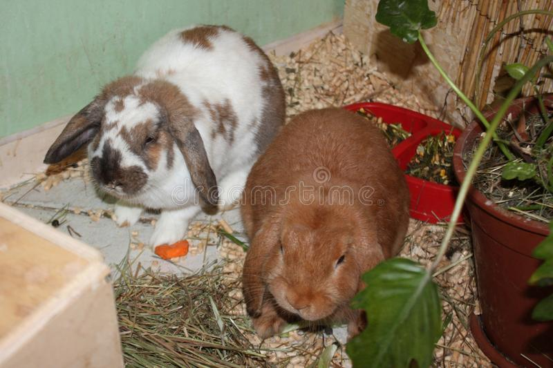 Two long-eared rabbit sitting in the home. stock photos