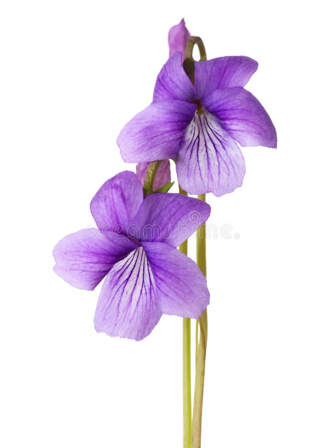 Two early spring flowers Sweet Violet isolated on white background royalty free stock images