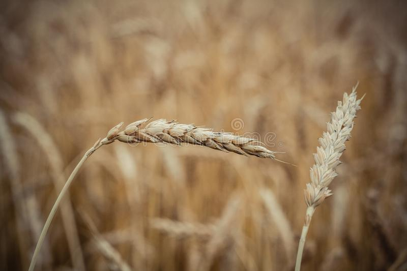 spike of wheat close up on the background of a ash field stock photos