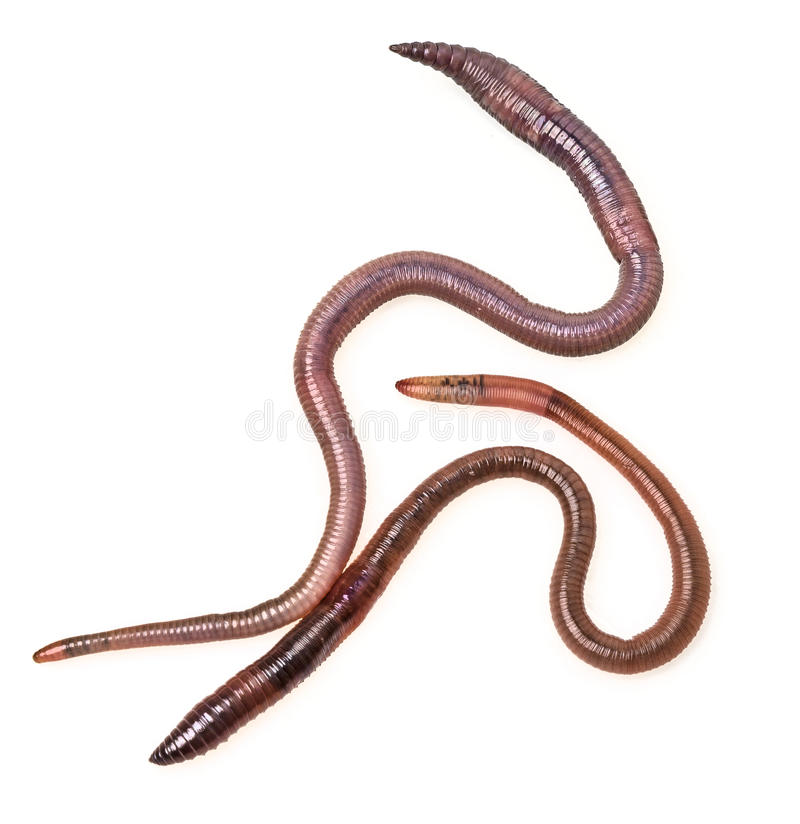 Two Earthworms Royalty Free Stock Image