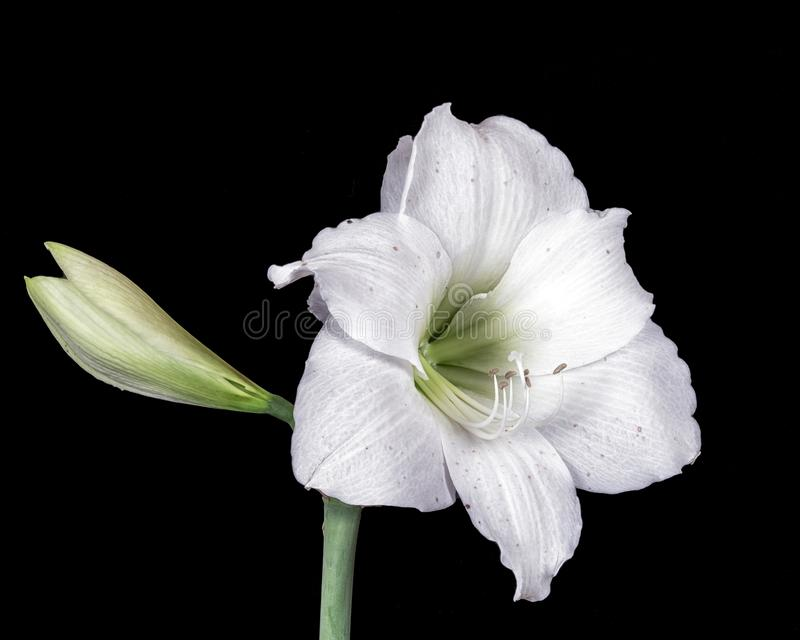 Two Easter lily`s in full bloom photographed with felt background stock images
