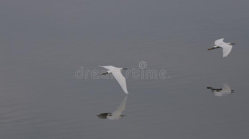 Two Egret`s with reflections off the Bohai sea stock image
