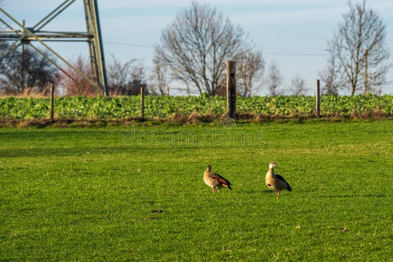Two Egyptian Geese Alopochen aegyptiaca on a meadow, trees and field in background royalty free stock photos