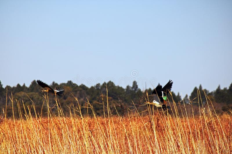 TWO EGYPTIAN GEESE FLYING LOW OVER LONG GRASS royalty free stock photography