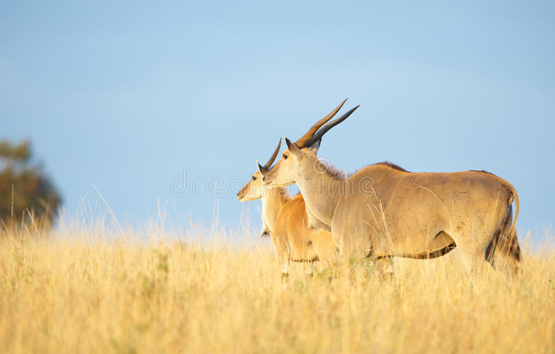 Download Two Eland (Taurotragus Oryx) Stock Image - Image: 14282769