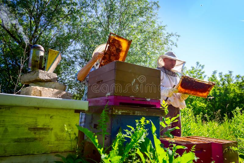 Two elderly apiarists, beekeepers are checking bees on honeycomb stock photography