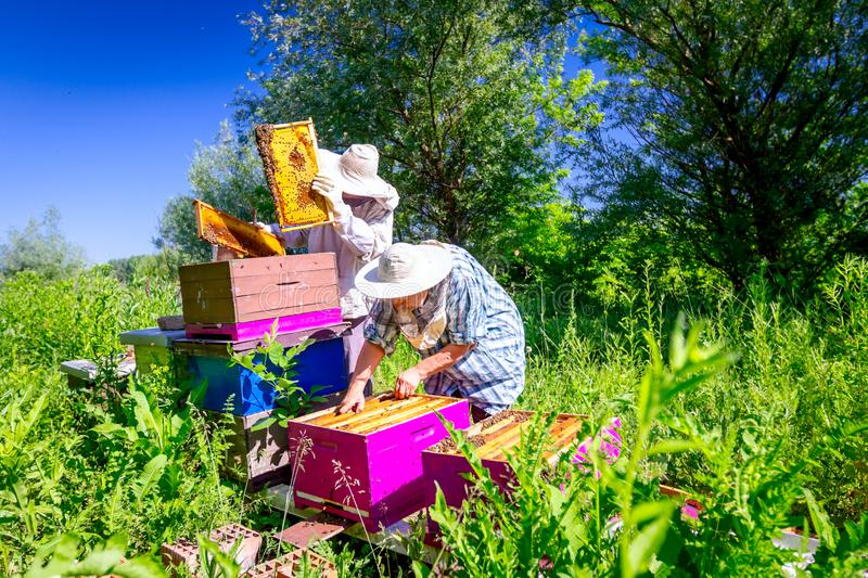 Two elderly apiarists, beekeepers are checking bees on honeycomb. Senior beekeepers are taking out the honeycomb on wooden frame to control situation in bee stock image