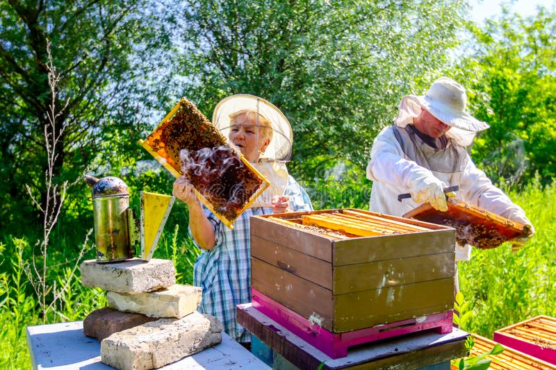 Two elderly apiarists, beekeepers are checking bees on honeycomb stock image