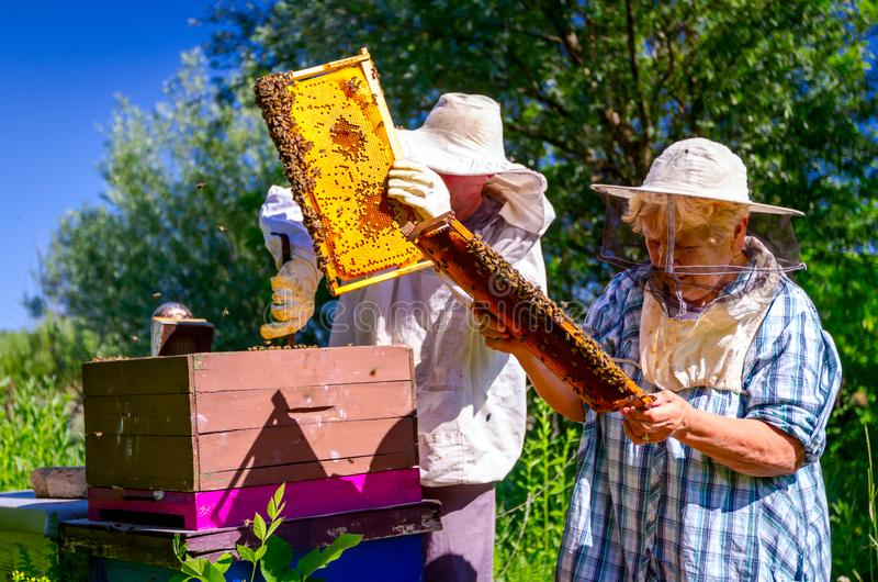 Two elderly apiarists, beekeepers are checking bees on honeycomb royalty free stock photos