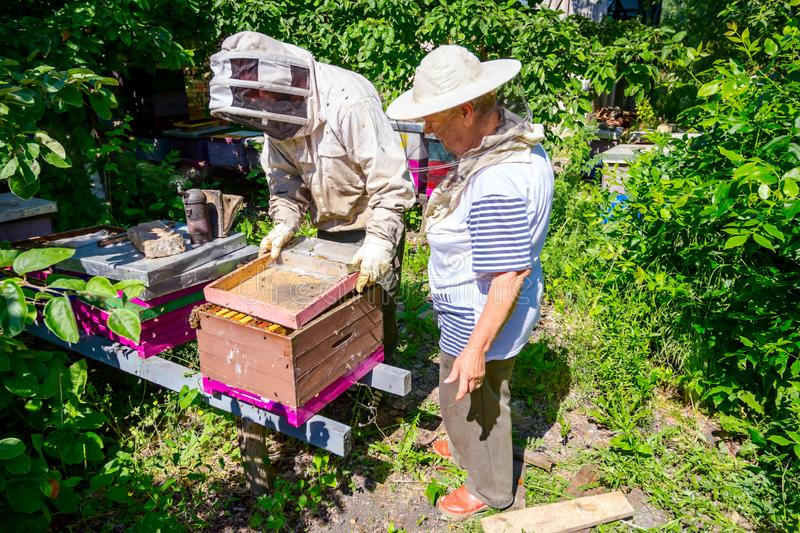 Two elderly apiarists, beekeepers are checking bees on honeycomb. Senior beekeepers are taking out the honeycomb on wooden frame to control situation in bee royalty free stock photography