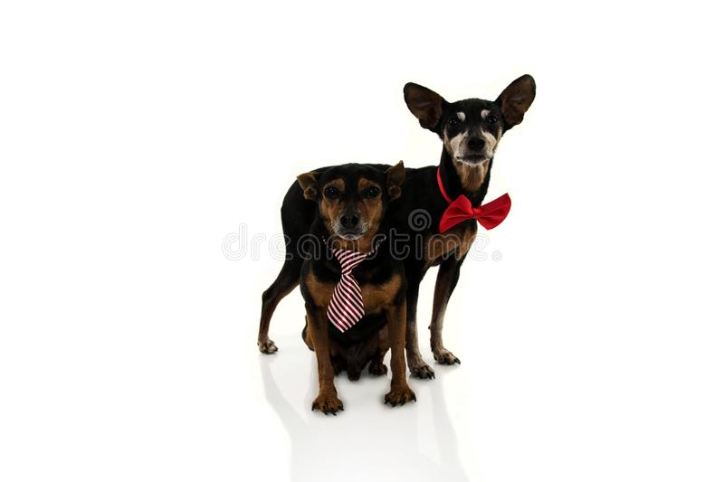 TWO ELDERLY PINSCHERS DOGS WITH RED BOW TIE ISOLATED ON WHITE BACKGROUND royalty free stock photography