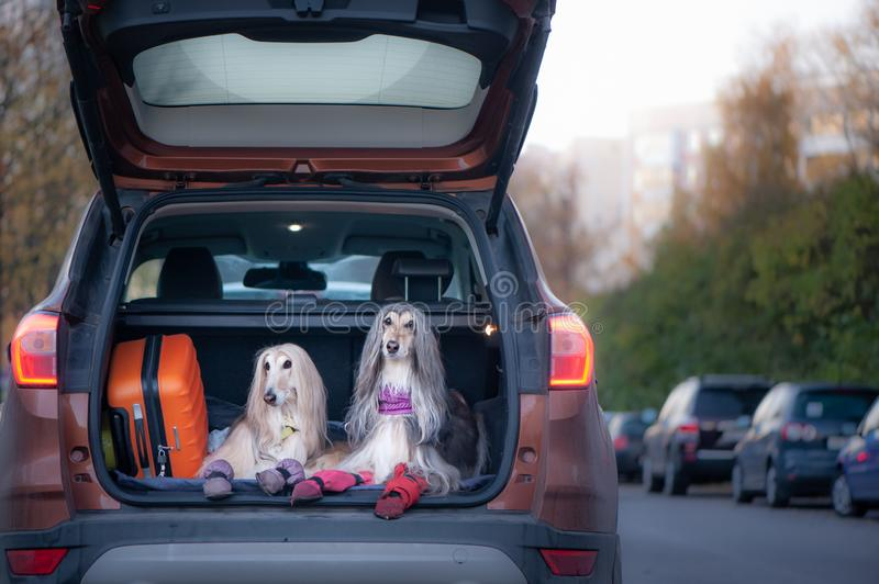 Two elegant Afghan hounds in the car, the concept of travel with animals. Transportation of dogs. Dogs in the trunk of a car with suitcases and luggage royalty free stock image