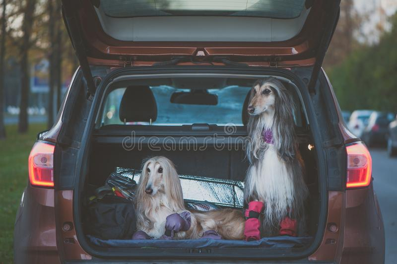 Two elegant Afghan hounds in the car, the concept of travel with animals. Transportation of dogs. Dogs in the trunk of a car with suitcases and luggage royalty free stock images