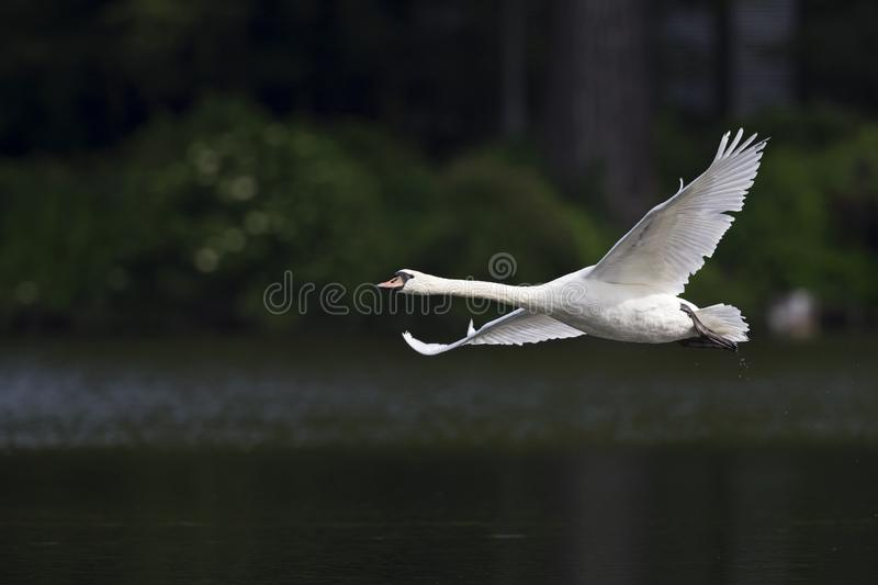 Two elegant mute swans Cygnus olor flying at highspeed in a lake in the city Berlin Germany. With waterdrops flying al over the place royalty free stock photos