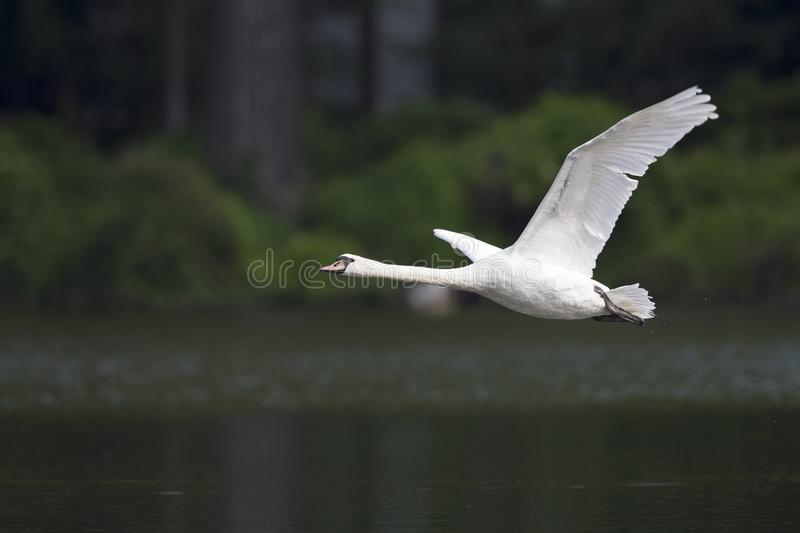Two elegant mute swans flying at highspeed in a lake in the city Berlin Germany. Two elegant mute swans Cygnus olor flying at highspeed in a lake in the city royalty free stock photo