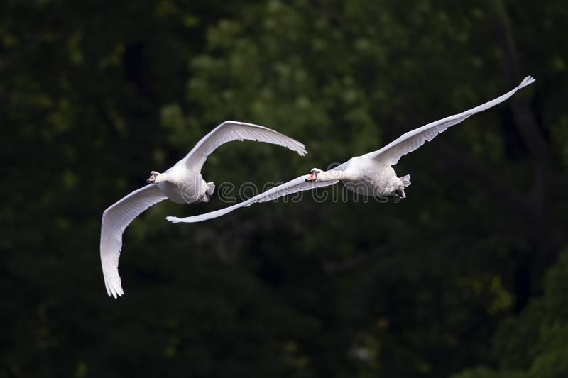 Two elegant mute swans flying at highspeed in a lake in the city Berlin Germany. Two elegant mute swans Cygnus olor flying at highspeed in a lake in the city stock images