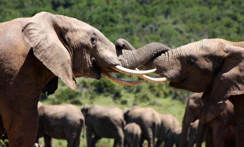 Two elephant bulls battle in South Africa stock photos