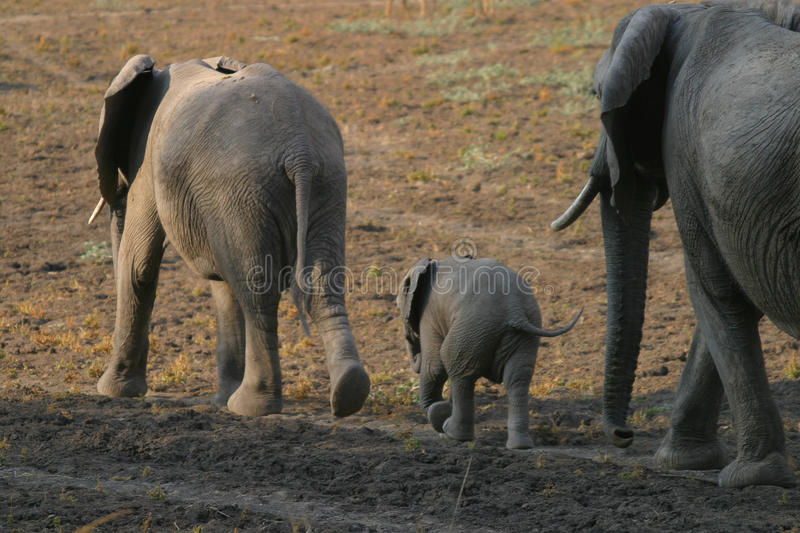 Two Elephant Cows with Young. Two elephant Cows walking away in South Luangwa National Park, Zambia Africa stock photo