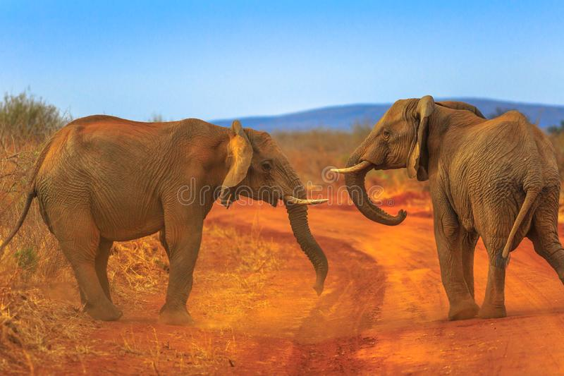 Two Elephant on Kalahari Desert stock photos