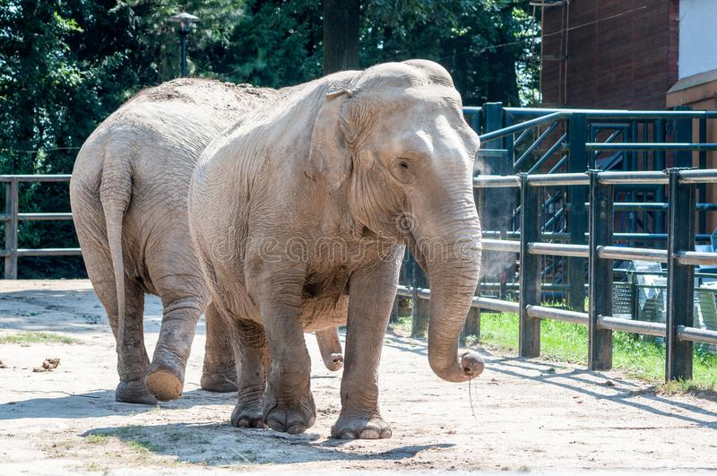 Two elephant looking adorable, standing on the ground looking, s covered with dust at the zoological park stock images
