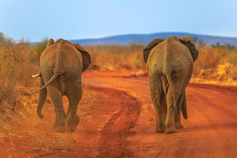 Two Elephant on red desert royalty free stock photography