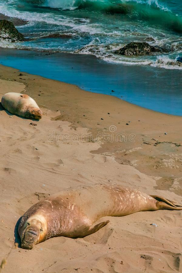 Elephant Seals By The Surf. Two elephant seals lie near the surf as the waves of the Pacific Ocean roll to shore royalty free stock photo