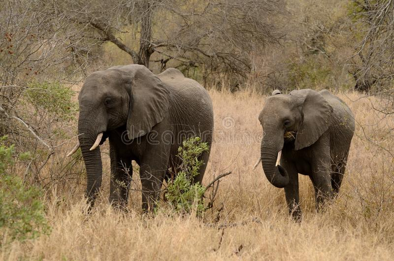 Two Elephants. This are two elephants in the Kruger National-Park in South Africa stock photography