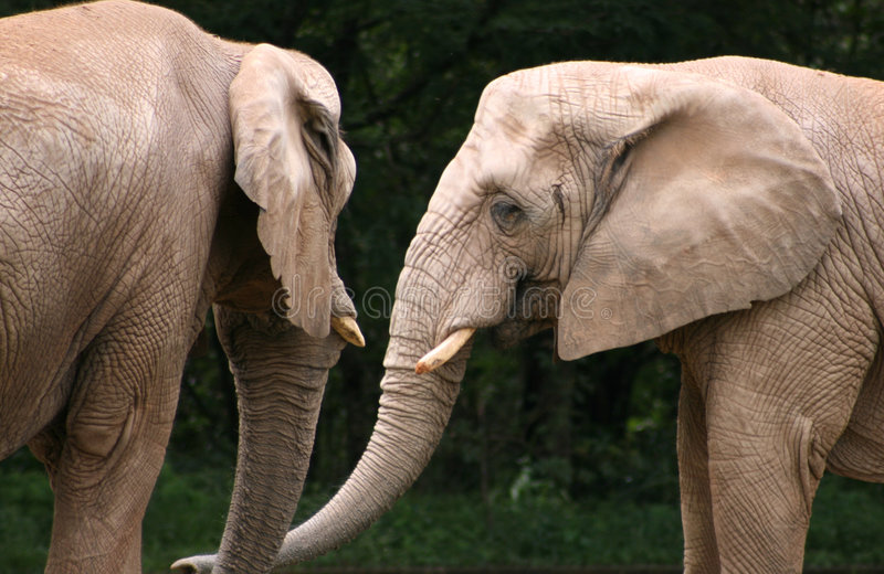 Two Elephants. Standing together in the zoo stock photos