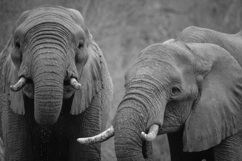 Two Elephants Free Public Domain Cc0 Image