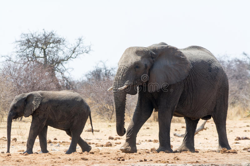 Two Elephants, adult and child, on the way to waterhole. In Etosha National Park, Namibia royalty free stock photos