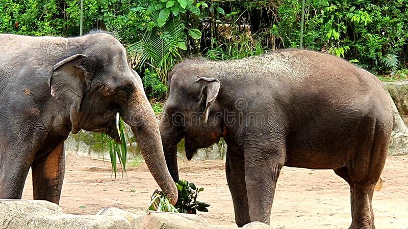 Two brown elephants are eating in zoo royalty free stock image