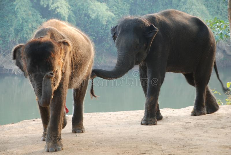 Two elephants go swinging their trunks and smiling at you stock photography