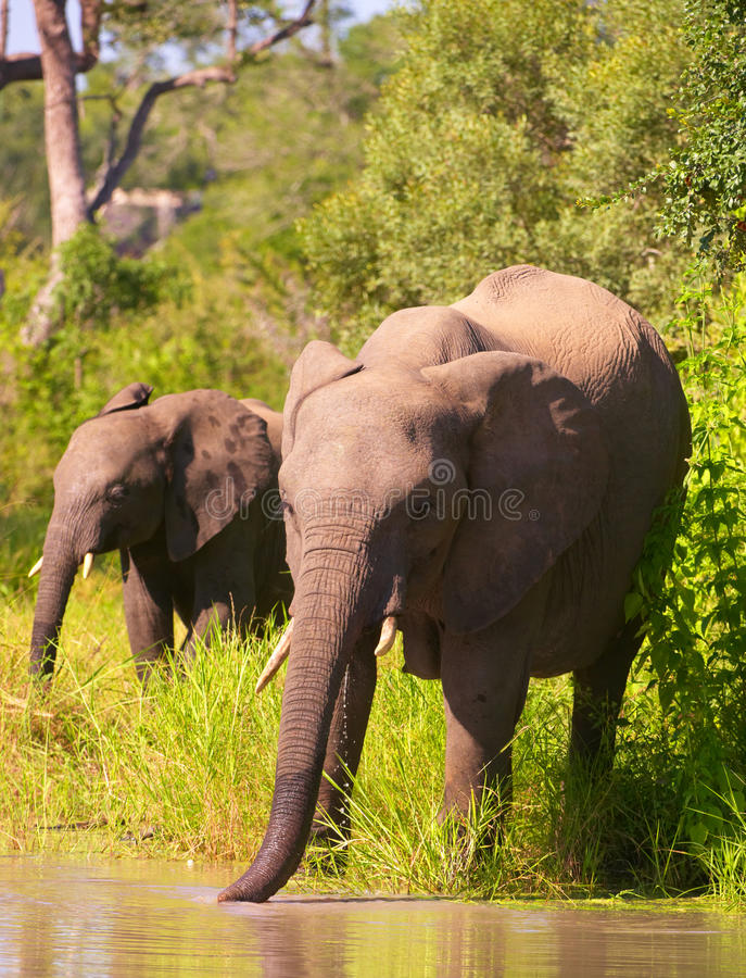 Free Two Elephants In South Africa Stock Photography - 11809522