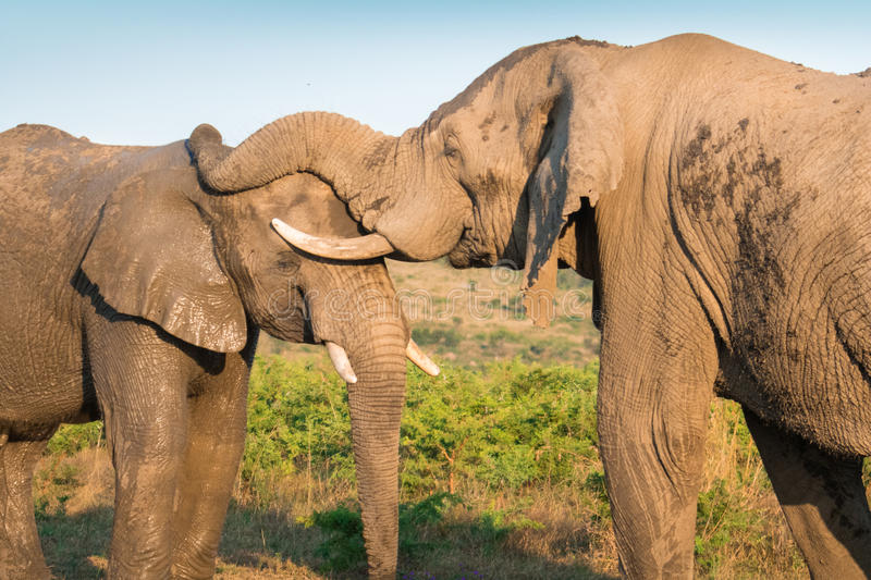 Two Elephants Interacting stock image