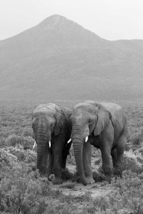 Two elephants landscape. A landscape with two elephants and a mountain peak in the background. In monochrome stock photos