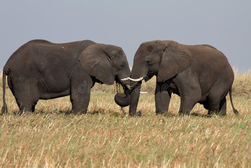 two elephants male stock photos
