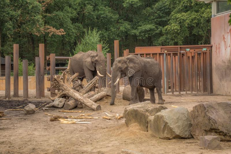 Two elephants are playing around a tree trunk in a cage. With the best quality and resolution royalty free stock image