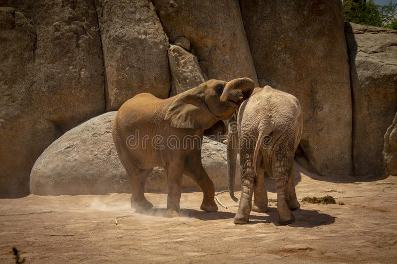 Two elephants playing royalty free stock image