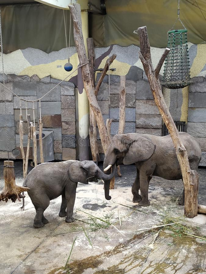 Two elephants playing proboscis in a cage. With the best quality and resolution stock photography